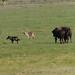 2013 June Wolf Bison encounter.2 jpg by Idahobill2008