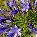 Small photo of Agapanthus praecox