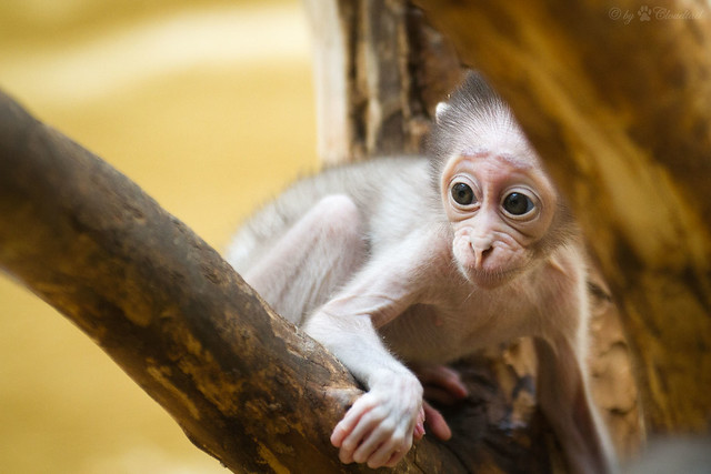 young mangabey