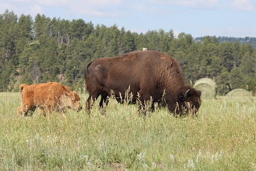 large bison and a small bison together