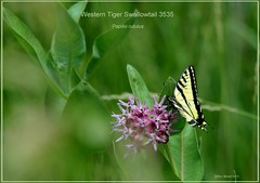 Western Tiger Swallowtail on Milkweed Roxborough State Park Colorado butterfly photography by Ron Birrell; DSC_3535