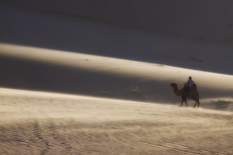 A Camel In The Gobi