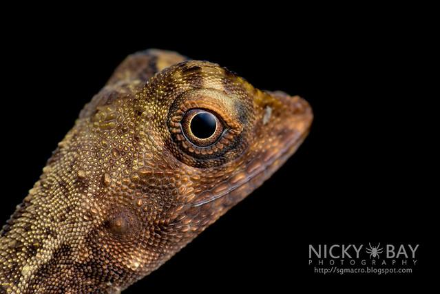 Crested Lizard (Agamidae) - DSC_3326