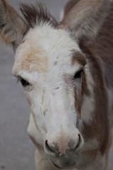 mare(0.0), halter(0.0), horse(0.0), mustang horse(0.0), pasture(0.0), animal(1.0), mane(1.0), donkey(1.0), head(1.0), pack animal(1.0), close-up(1.0),