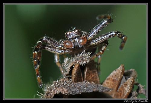 Xysticus sp. (Xysticus cristatus ?)
