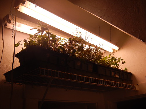 Herbs inside under lights