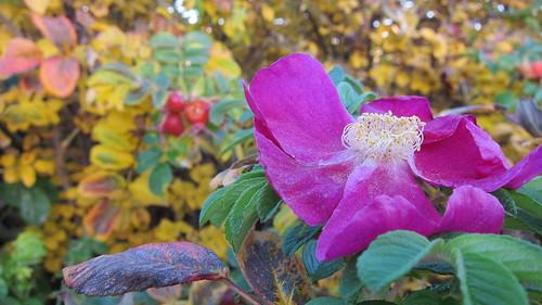 Viimeinen ruusu by Anna Amnell