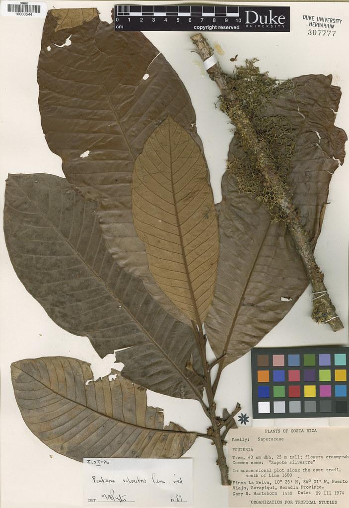 Sapotaceae_Pouteria silvestris