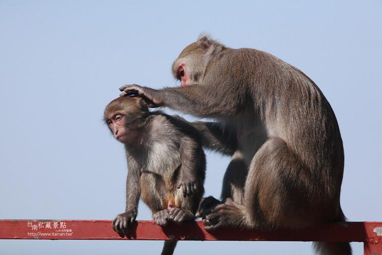 台南私藏景點-南化烏山獼猴 (2)