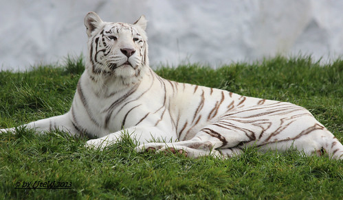 "White Tigress ""Cayenne"""