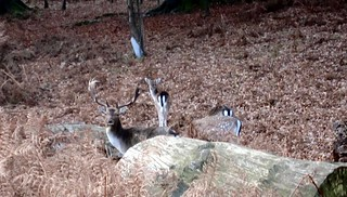 Deer At Knole