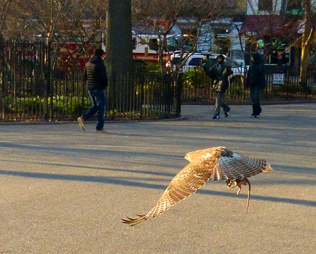 Red tail with rat in Tompkins Square