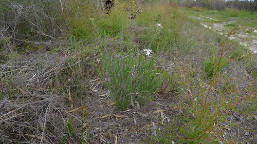 Wedding Bush, Ricinocarpos pinifolius