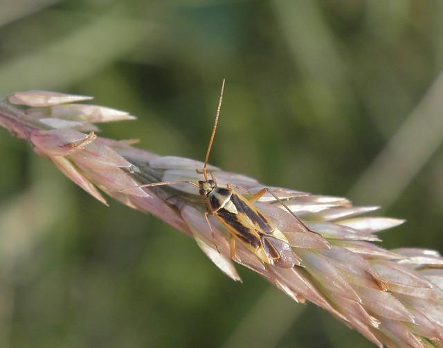 Stenotus binotatus - kétfoltos mezeipoloska