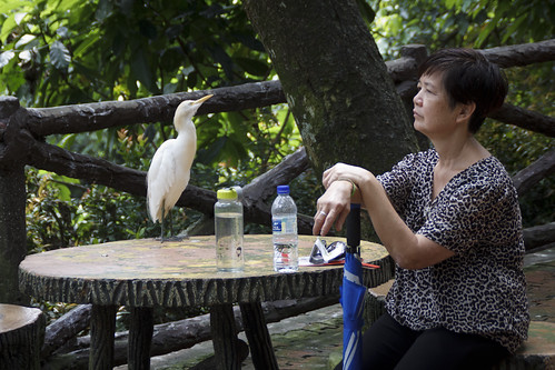 auntie bersama grey heron
