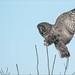 Great Gray Owl Incoming by Raymond J Barlow