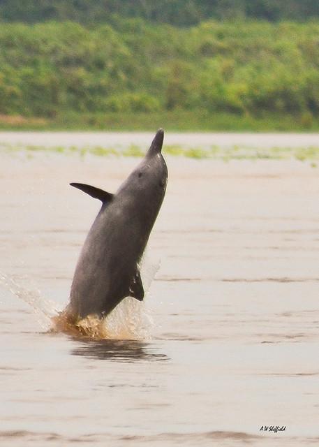 Amazon Gray Dolphin 1