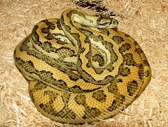 boas(0.0), eastern diamondback rattlesnake(0.0), boa constrictor(0.0), hognose snake(0.0), viper(0.0), garter snake(0.0), sidewinder(0.0), kingsnake(0.0), animal(1.0), serpent(1.0), snake(1.0), reptile(1.0), fauna(1.0), rattlesnake(1.0), scaled reptile(1.0), wildlife(1.0),