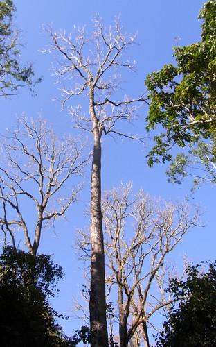 Red Cedar (Toona ciliata) 42 metres tall