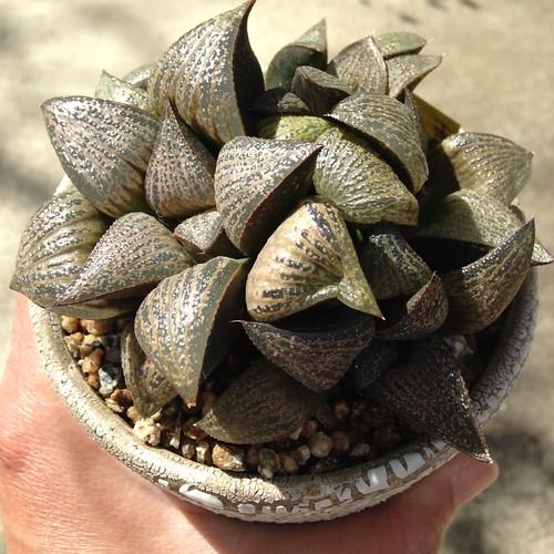 Haworthia hybrid by Reggie1