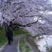 CherryBlossoms_12 by Sakak_Flickr