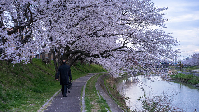 CherryBlossoms_12