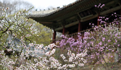 Korea_Changdeokgung_20140407_12