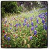 #wildflowers #texas #tx #bluebonnets #houston #spring