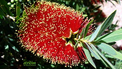 Arizona Bottle Brush
