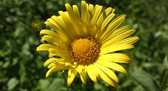 Yellow Marguerite Daisy