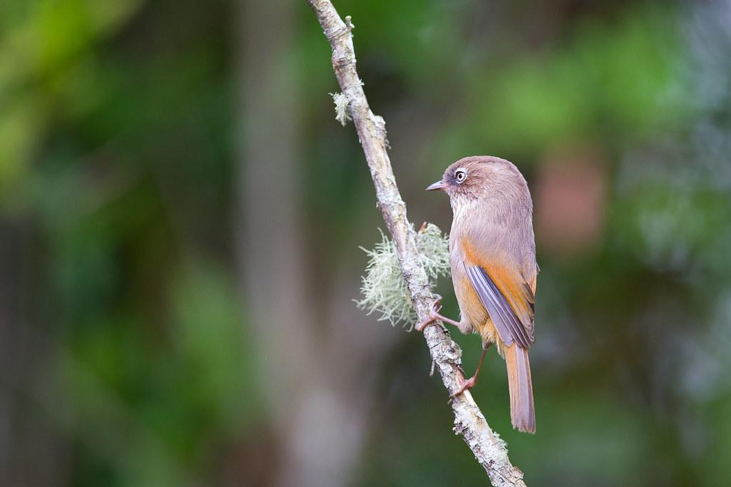 褐頭花翼-1097