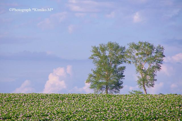 ジャガイモ畑で