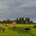 Cows by BraCom (Bram)