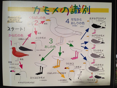 rishiri-island-rishiri-museum-gull-of-identification