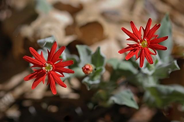 Silene laciniata ssp. californica (California Indian Pink)