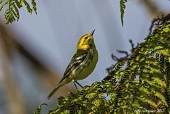 Reinita Verdosa-Black-throated Warbler-Setophaga virens