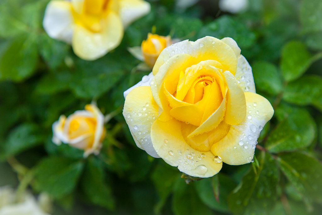 Image result for rose garden yellow