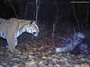 A rare camera trap photo of a wild tiger chasing a porcupine in the Indian Terai