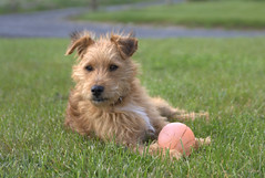 dog breed, animal, berger picard, dog, schnoodle, pet, norfolk terrier, glen of imaal terrier, norwich terrier, lakeland terrier, welsh terrier, irish terrier, cairn terrier, australian terrier, carnivoran, terrier,