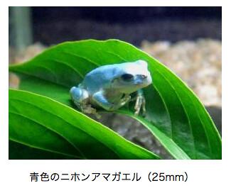 上越市立水族博物館 青いアマガエル