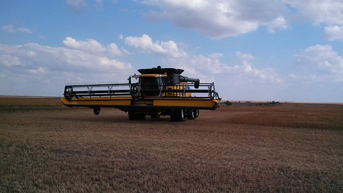 Waiting for wheat to dry out