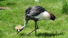 animal, zoo, fauna, ciconiiformes, beak, crane-like bird, crane, bird, wildlife,