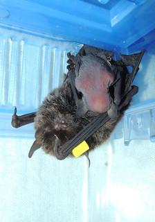 小蝙蝠正埋首於媽媽懷裡吸奶的模樣。。(圖片來源:雪霸國家公園)