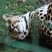 Small photo of Frisky Leopard