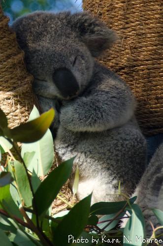 Baby Koala Sleeping