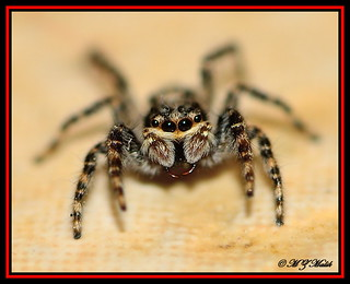 VARIETY OF JUMPING SPIDER......KENYA,NAIROBI OCT 2013