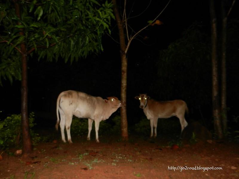Коровы для буддистов - это еда
