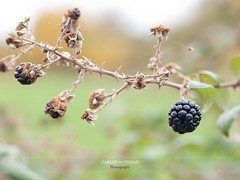 The last blackberries (Rubus fructicosus) of Autumn