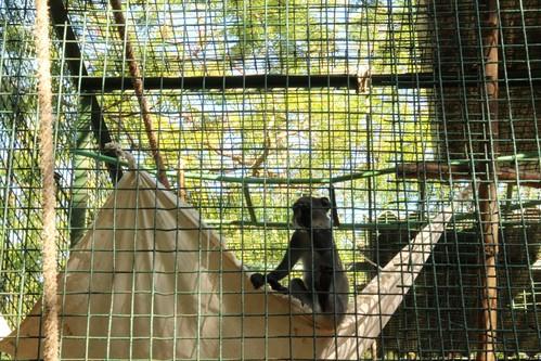 白喉長尾猴在吊床跳上跳下玩耍,許惠婷攝