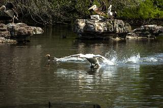 Atterrissage d'un cygne sur le lac de St Jame's Park